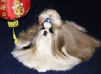 Dog Club Shih Tzu Gallery