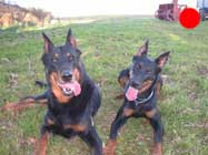 Beauceron in the UK