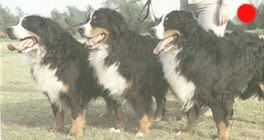 Bernese Mountain Dog in the UK