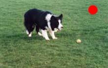 Border Collie in the UK