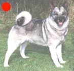 Norwegian Elkhound in the UK