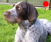 German Wirehaired Pointer in the UK