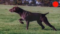 German Shorthaired Pointer in the UK
