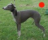 Italian Greyhound in the UK
