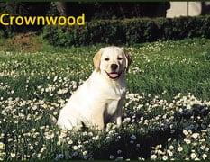 Retriever (Labrador) in the UK