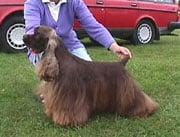 Spaniel (American Cocker) in the UK