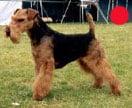 Welsh Terrier in the UK