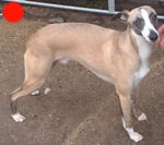 Whippet in the UK